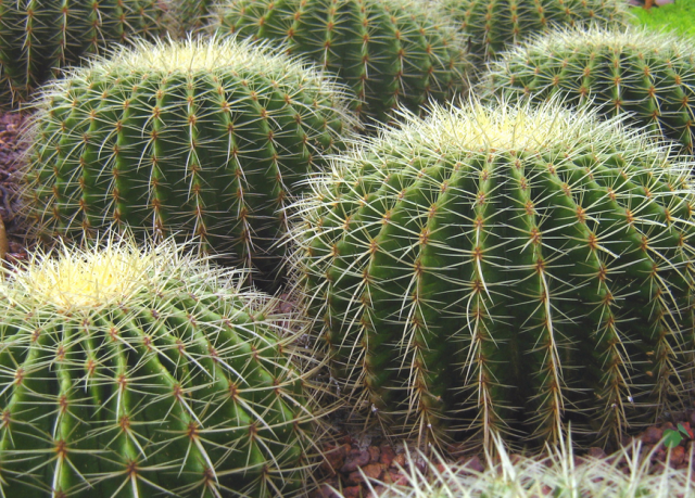 Cacti plants photos png hi res 720p hd - What is cactus plant good for ...