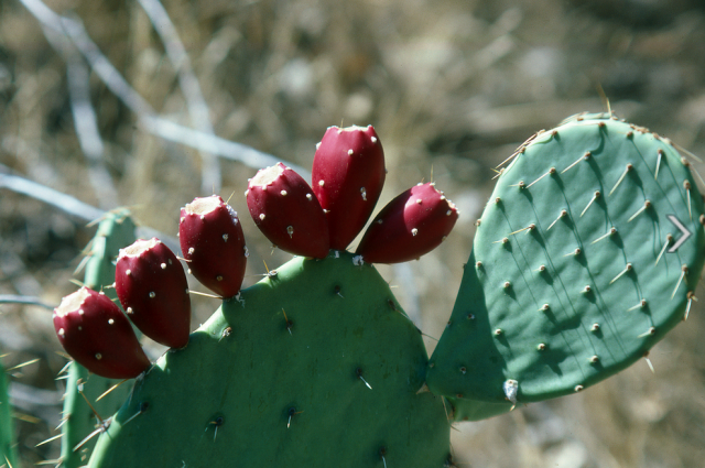 Cactus cactus red fruits photos.PNG
