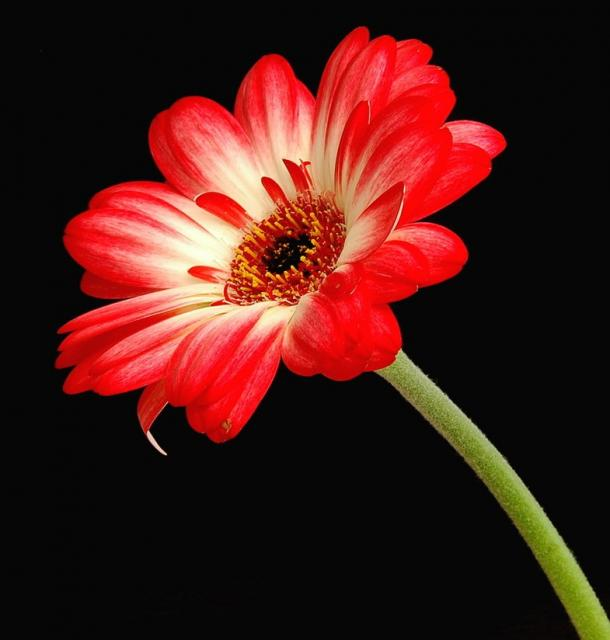 photos of cream and red daisy flower hires p hd, Natural flower