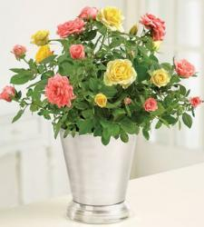 Bicolored Roses Arrangement with silver vase photos.JPG