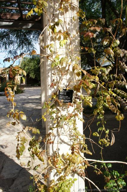 Trumpet Creeper vine plant at Lady Bird Johnson Wildflower Center.jpg