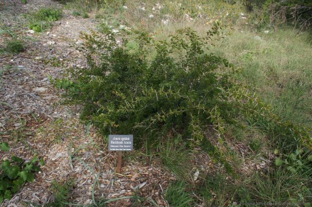 Blackbrush Acacia Plant At Lady Bird Johnson Wildflower Centerjpg