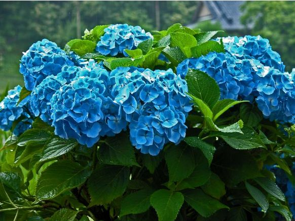 Beautiful bright blue hydrangea wedding flowers.JPG