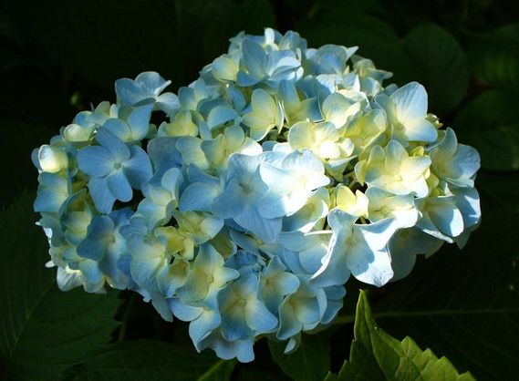 blue hydrangea flower arrangements.JPG