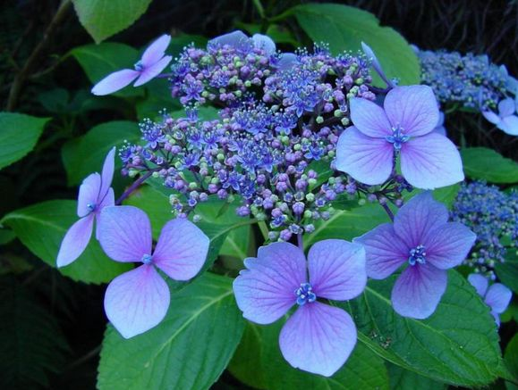 hydrangea flowers images  photos, Natural flower
