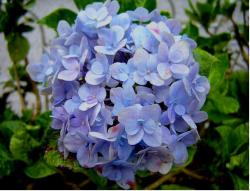 Blueish hydrangea flower ball.JPG