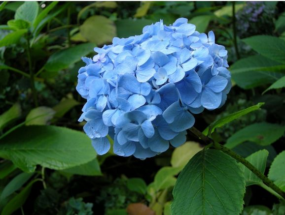 hydrangea flowers images [p. ], Beautiful flower
