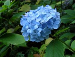 bright blue hydrangeas flowers.JPG