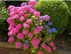bright colors hydrangea flower garden.JPG