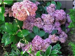 close picture for hydrangea flowers.JPG