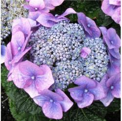 close up photo of purple hydrangea flower.JPG