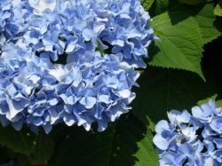 close up picture of blue hydrangea flowers.JPG