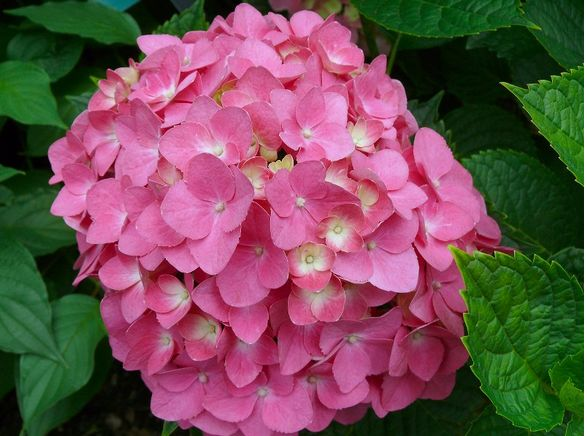close up picture of hydrangea flower in pretty pinkjpg