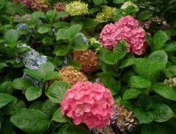 colorful red, purple, orange green hydrangea flowers.JPG