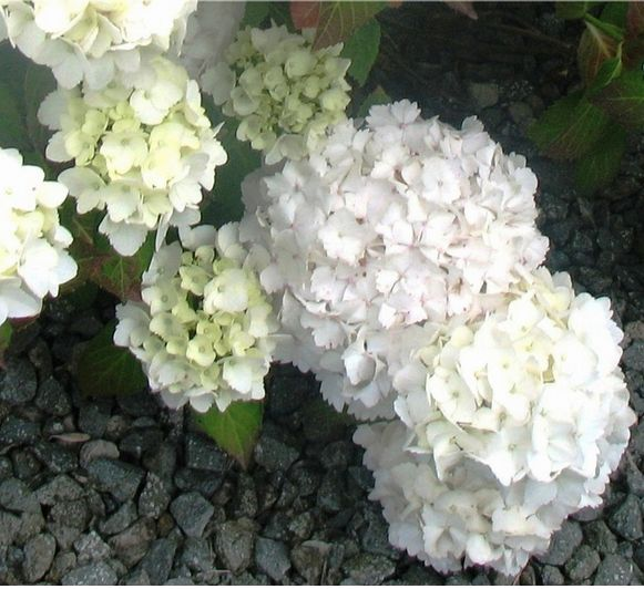 Creamy White Hydrangea Flowers Picture Jpg