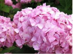 Hydrangea Flowers on Purple Pink Garden Hydrangea Flowers In The Bright Sunny Sun Jpg