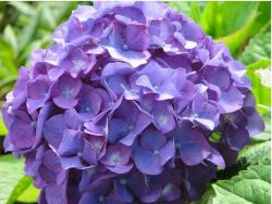 cut hydrangea flowers in purple in close up picture.JPG