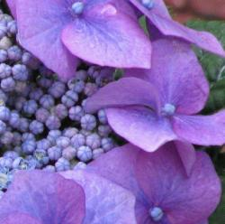 extreme close up picture of hydrangea flower pales in dark purple.JPG