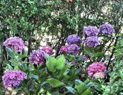 flower hydrangea plants in purple.JPG