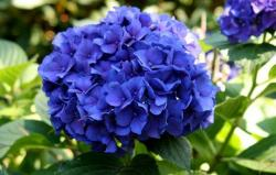 hydrangea flower arrangments in dark purple color.JPG