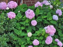 hydrangea flower balls in purplish pink'.JPG