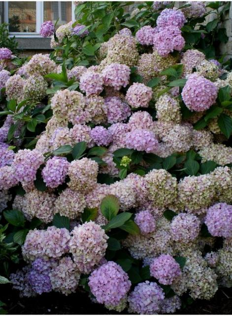 hydrangea flower bushy plant in purple color.JPG