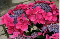 hydrangea flower colors in pink and purple.JPG