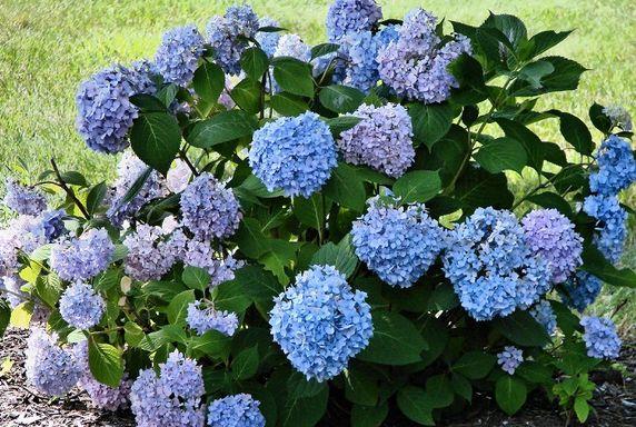 Hydrangea flower garden flower in blue color jpg - Plants with blue flowers a splash of colors in the garden ...