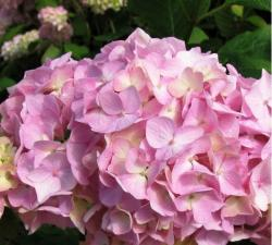 hydrangea flower in very close up picture.JPG