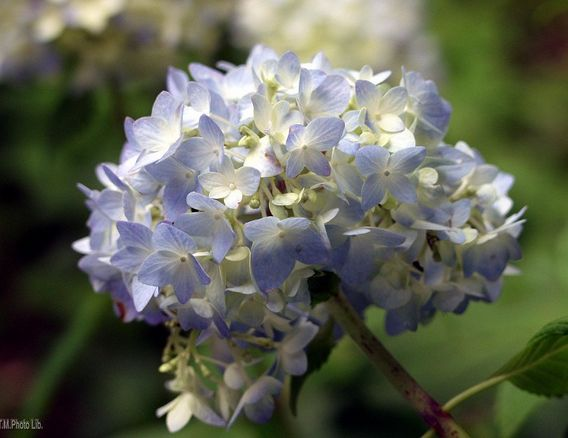 hydrangea flower in white and purple.JPG