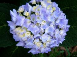 hydrangea flowers for weddings.JPG
