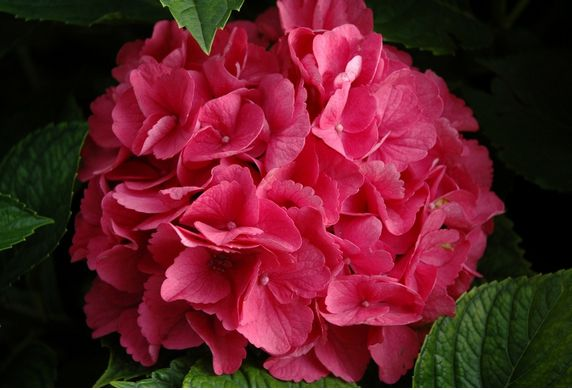hydrangea flowers in bright pink color.JPG