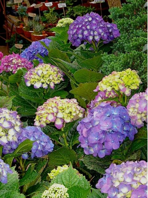 hydrangea flowers in flower store.JPG