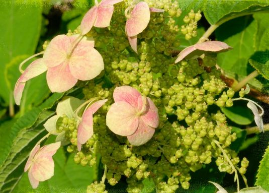 hydrangea flowers pictures close up.JPG