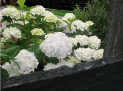 hydrangea flowers to decor in garden.JPG