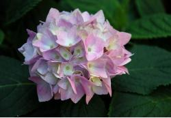 hydrangea wedding flower.JPG