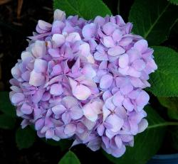 hydrangea wedding flower in light purple color.JPG