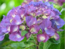 hydrangea wedding flower in two tones.JPG
