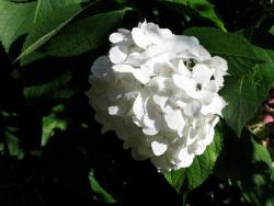 image of a hydrangea flower in white.JPG