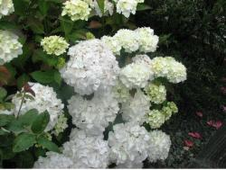 image of hydrangeas flower in white.JPG