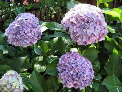 image of hydrangeas flowers in purple color.JPG