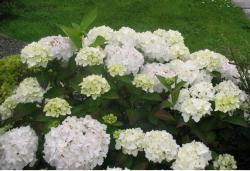 images of white hydrangea flower.JPG