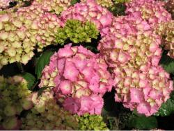 Light green and pink wedding flowers hydrangeas.JPG