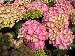 light greenish and pink hydrangea flowers.JPG