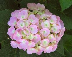 light pink hydrangea wedding flower photos.JPG