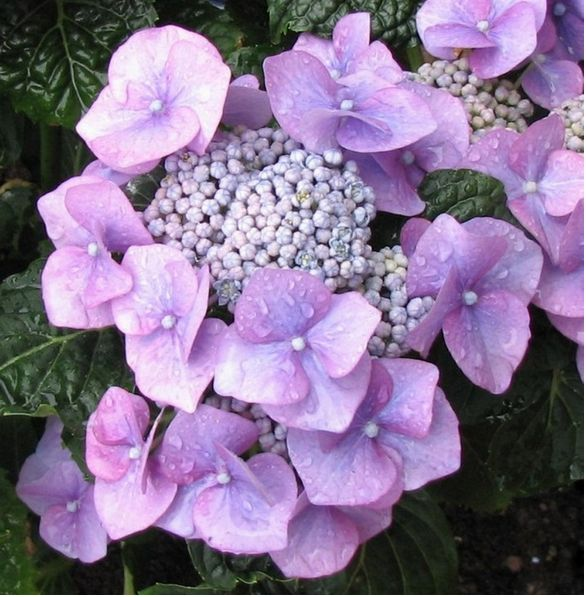 Light purple hydrangea flower pictures.JPG