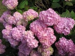 photo of beautiful hydrangia flowers in pink.JPG