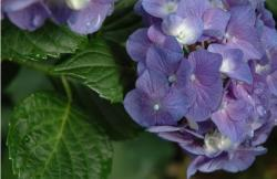 photos of purple hydrangea like flowers.JPG