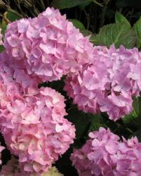 picture flowers on hydrangea.JPG