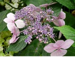 picture of a young pink hydrangea flower.JPG